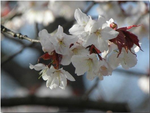 7 Prunus-sargentii-P5020089
