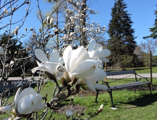 Magnolia, Bergianska